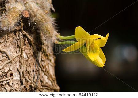 Wild Orchid In Thailand Name Dendrobium Senile
