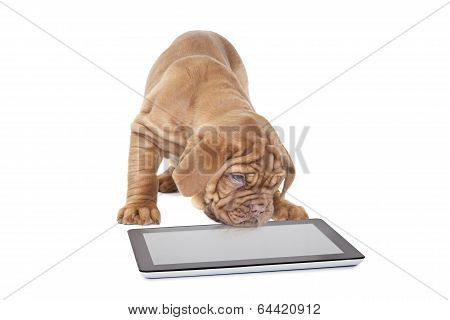 French Mastiff Puppy With Digital Tablet Computer
