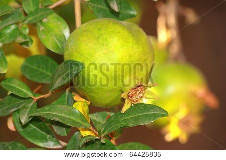 Single Pomegranate On Tree With Green Leaves
