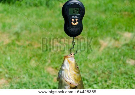 Closeup Weights Shiny Big Tench Fish