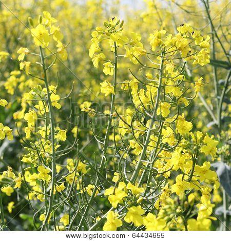Rapeseed Flowers, Brassica Napus