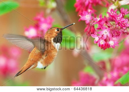 Rufous Hummingbird Feeding on Flowering Currant