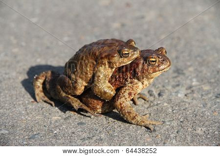 Two Frogs. One Sits On The Other. Frogs Crawl Through Asphalted Road.