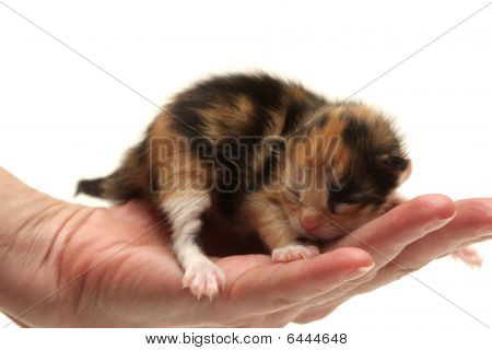 Three-coloured Kitten Lying In Hand Isolated On White Background
