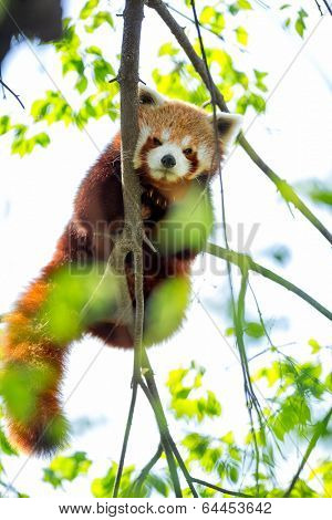 Red panda bear in tree (Ailuris fulgens)