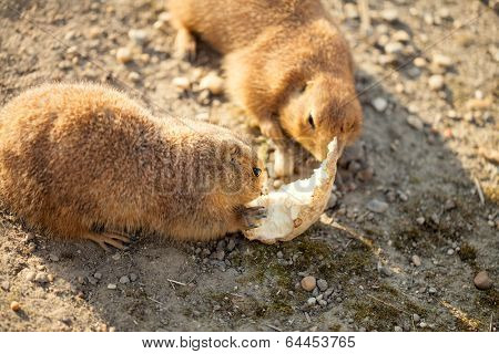 Pair of black-tailed dog eat