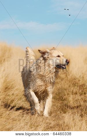 Running Golden Labrador Retriever