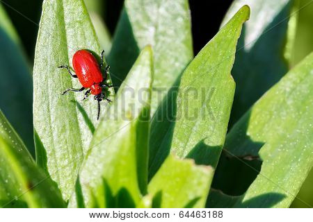 Macro Photography Of A Little Insect, Small Beetle
