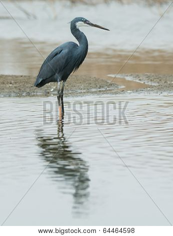 A Western Reef Heron Standing In Shallow Water