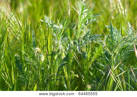 Spring Green Grass With Spikelets And Poppy Buds