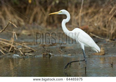 Great White Egret Wading Slowly Through The Mangroves
