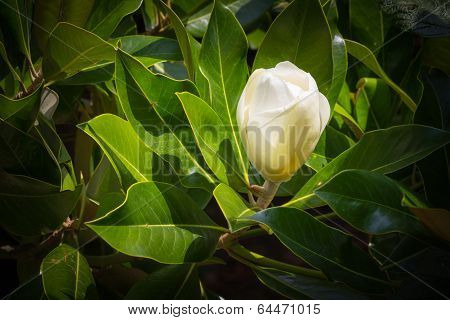 Magnolia bud before opening.