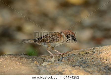 Eurasian Tree-sparrow (passer Montanus)
