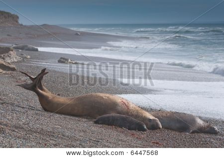 Male Seal With Female And Cub
