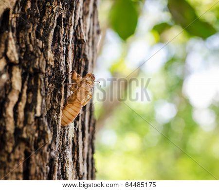 Cicada Shell On The Tree