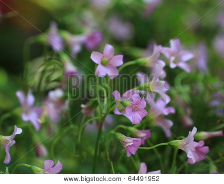 Violet Wood Sorrel (Lavender Sorrel)