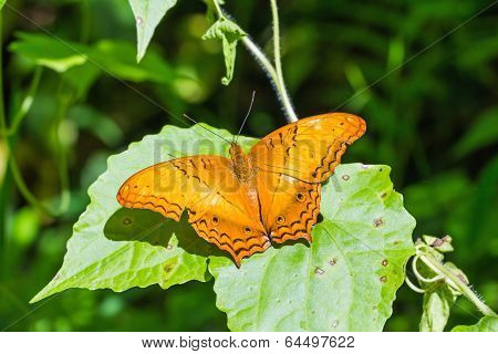 The Common Cruiser Butterfly