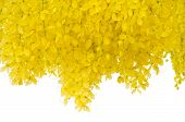 picture of vishu  - Cassia fistula flower isolated on white background - JPG