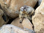 image of marmot  - A juvenile Yellow - JPG
