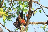foto of genital  - Flying Fox upside down on the tree - JPG