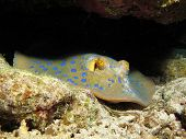 image of stingray  - A blue spotted ribbontail stingray  - JPG