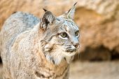 stock photo of bobcat  - Bobcat hunting - JPG
