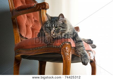 Cat On Red Velvet Chair