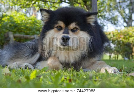 Finnish Lapphund rests in a garden.