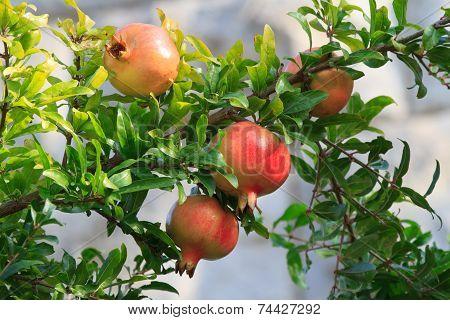 Ripe Pomegranate Fruit On A Branch Close-up,