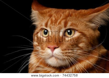 close-up red Maine Coon