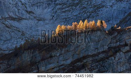 Golden Larchs In Autumn