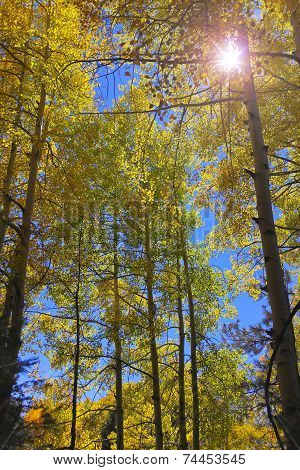 A Stand Of Mountain Aspens With Lens Flare