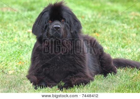 Purebred newfoundland dog.