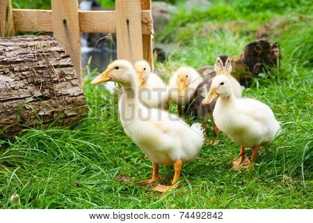 Cute fluffy goslings at a farm