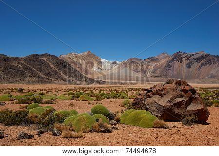 Cushion Plants in the Atacama