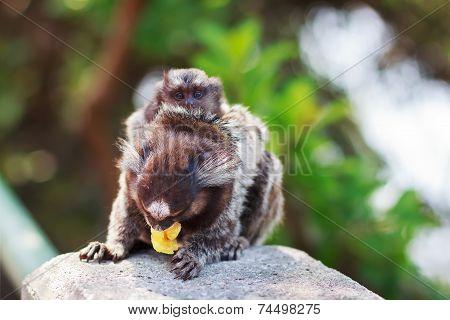 The Common Marmoset  White-eared Female Monkey Eating Banana With Baby