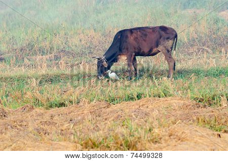 Buffalo With A Cattle Egret - Bulbulcus Ibis