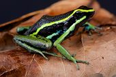 stock photo of poison dart frogs  - The three - JPG