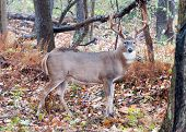 image of buck  - Whitetail Deer Buck standing in a woods - JPG