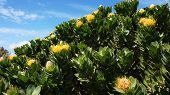 picture of fynbos  - Protea famous plant of South Africa with blue sky - JPG