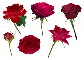 pic of six-petaled  - illustration with six rose flowers isolated on white background - JPG