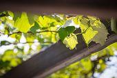 image of creeper  - Beautiful vine creeper wood and sky background - JPG