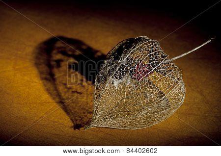 Dried Physalis Lantern Close Up