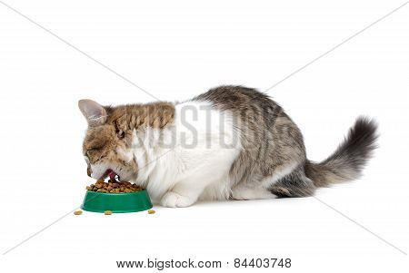 Kitten Eating Food From A Bowl Isolated On White Background