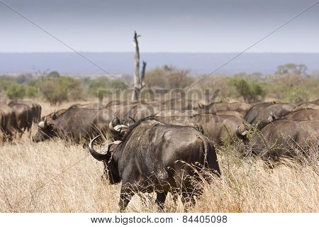 herd of buffalos migrating in savannah, Kruger, South Africa