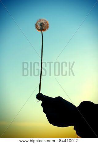 Dandelion In The Hand