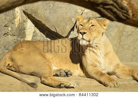 lioness lying