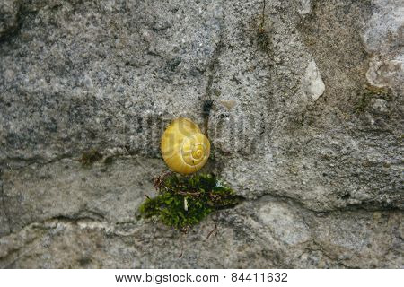 Beauty Shell Yellow Snails On The Grey Stone Wall