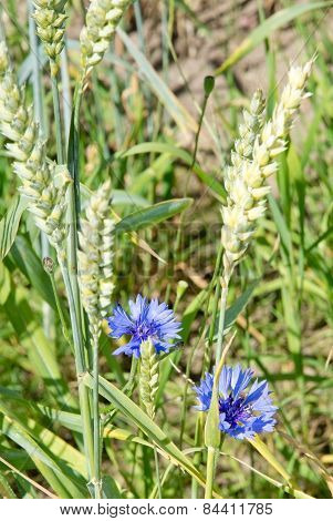 Two blue cornflowers in corn field