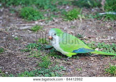 Green-rumped Parrotlet